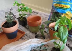 Potting Herbs
