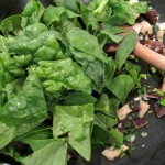 Wilt spinach over mushrooms and green garlic