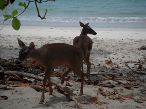 Deer on the beach in Manuel Antonio