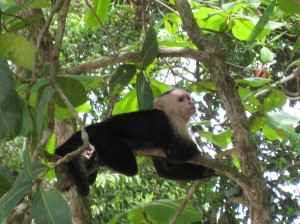 Monkey in Manuel Antonio