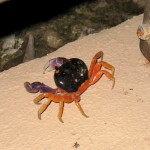 Halloween Crab in Arenas del Mar