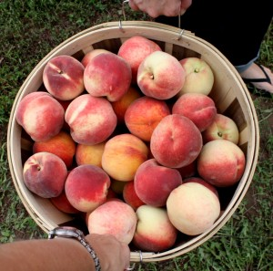 Peach Picking0008